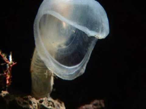 BBC Planet Earth/Blue Planet - Deep ocean creatures Video