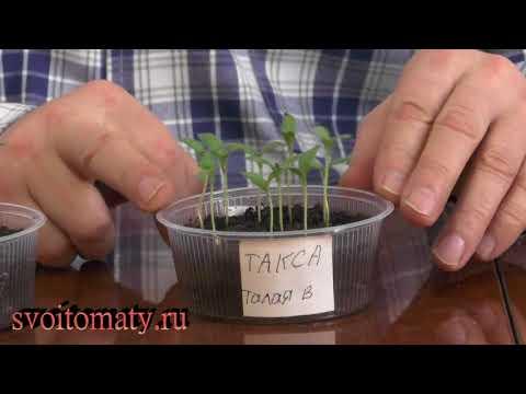 Замачивание семян талая вода + янтарная кислота: мои отзывы