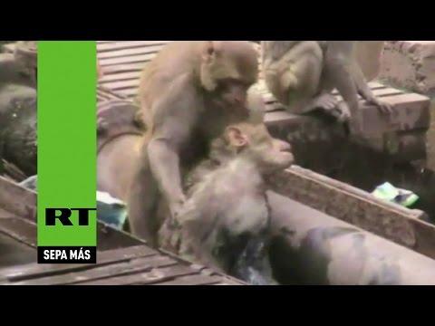 Mono se lanza al rescate y salva a su 'amigo' electrocutado