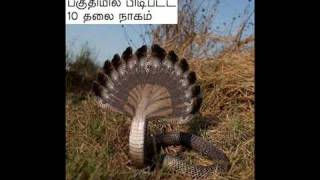 Snake With 10 Heads.. Caught in Srilanka  - YouTub