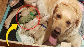 Golden Gives Birth To Rare Puppy, Only 3 Known To Have Ever Existed