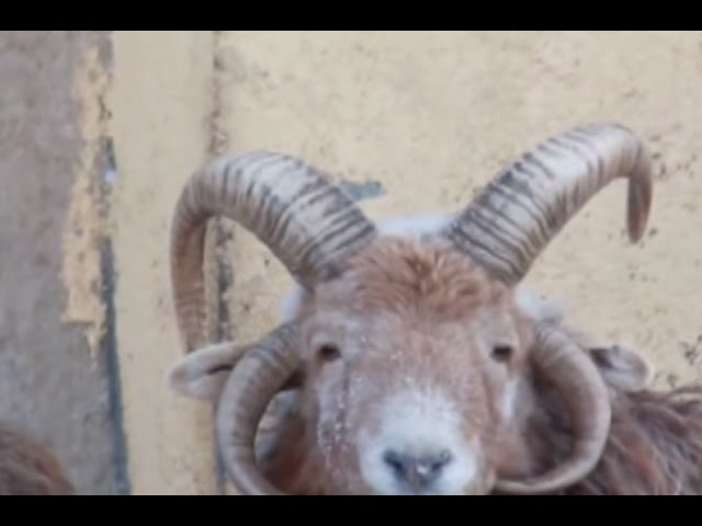 Double trouble? Ram with four horns spotted in NW China