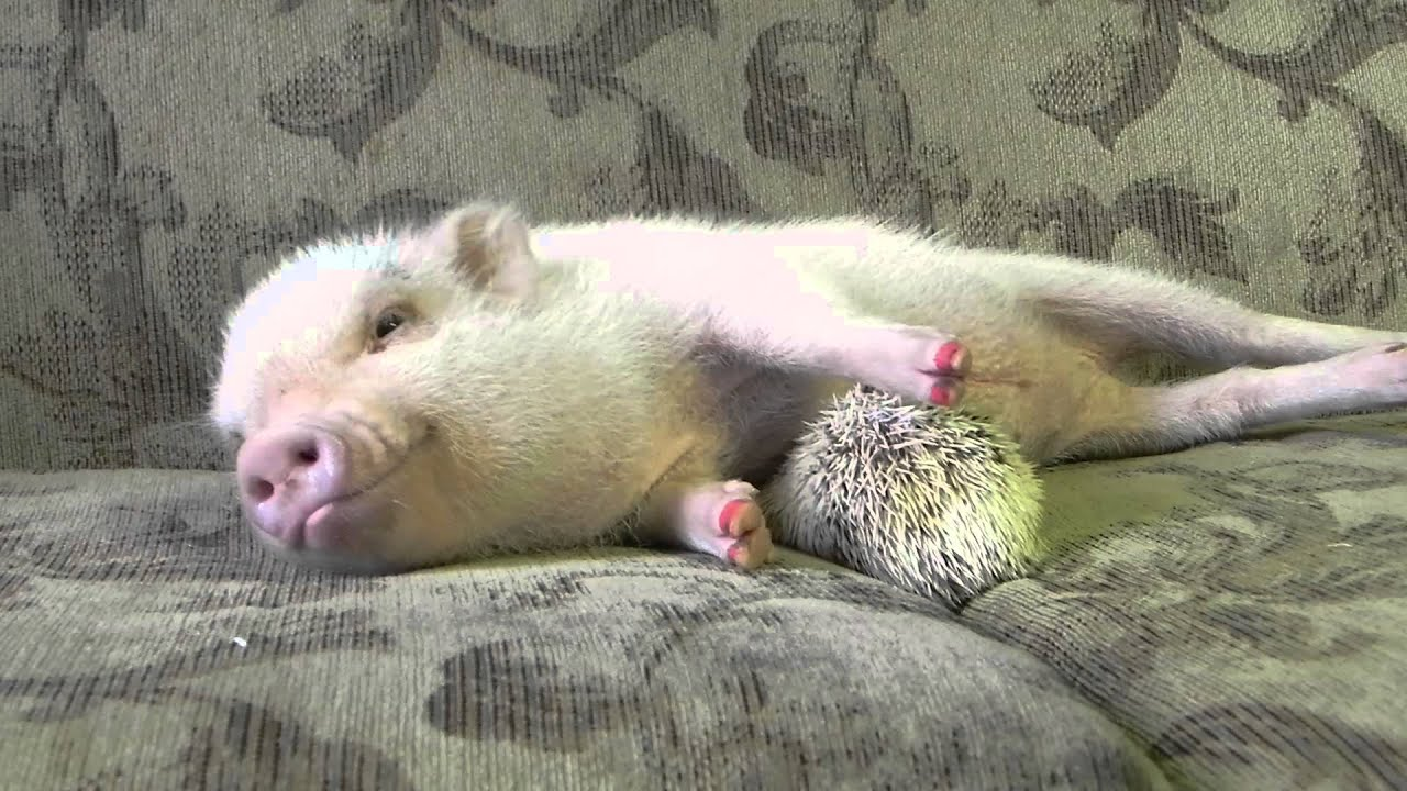 hedgehog gives pig a belly rub youtube
