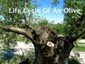 Life-Cycle-Of-An-Olive - The-Induction