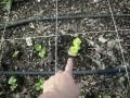 How to Grow Celery From Kitchen Scraps!!! Planting Celery in my Square Foot Garden.