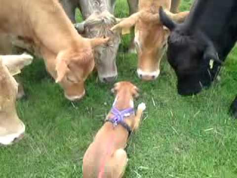 Perros - Boxer amigo de vacas
