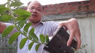 Cách trồng phi điệp 5 cánh trắng. phi điệp trồng chậu tập 4. sơn cầm