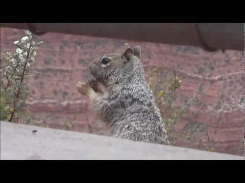 Squirrel Chewing Gum at Grand Canyon