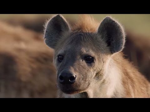 Lion Attacked by Pack of Hyenas | Dynasties | BBC Earth