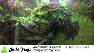 Terrific Tinctorius Dart Frogs