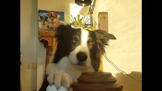 """Cachorro """"fominha"""" aprende a tocar campainha pra pedir comida"""