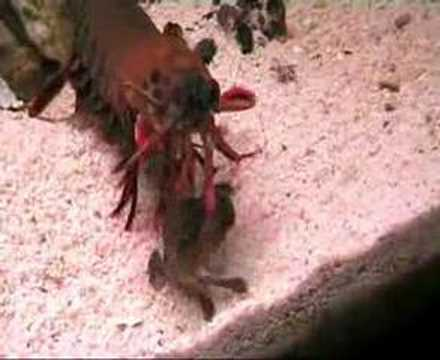 amazing mantis shrimp video
