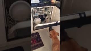 Dog Closes Dishwasher! (Behavioral Psychology)