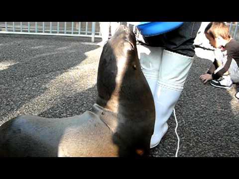 オタリアの赤ちゃん04-江戸川区自然動物園の「きらり」-Otaria