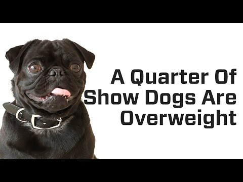 A Quarter of Show Dogs are Overweight