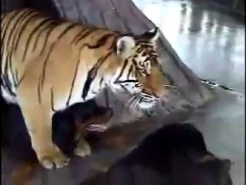 WTF - Tiger and Dog Mating???