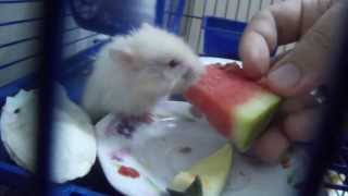 0:18 watermelon hid part of the bladder, hamsters. 0:18 karpuz parçasını kesesine sakladı DSCF6049