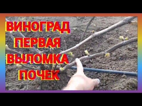выращивание винограда в сибири видео-ят2
