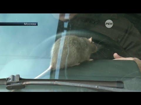 Автомобилисты используют крыс в борьбе с эвакуаторами