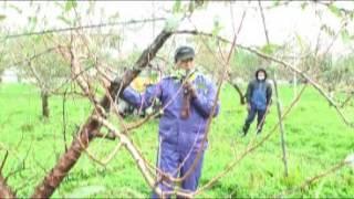桃の洗浄 果樹園の樹皮洗浄検討会