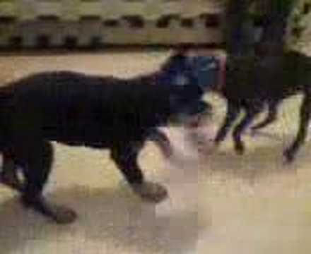My TV Moments - Rottweiler vs pit bull, Brujo vs Bali (jugando/playing ...