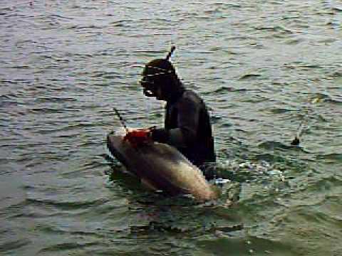 Zıpkınla balık avı スピアフィッシング sivriburun sargoz