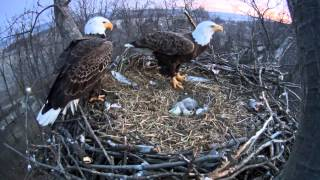 A second eagle egg hatches in Hanover, Pa.