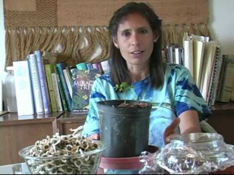Moringa Trees from Seed to Storage