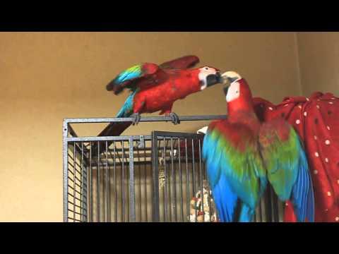Atraksi burung lucu
