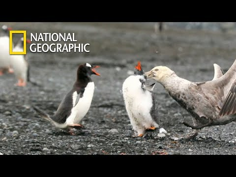 Gentoo Penguin Protecting his Baby from Giant petrel|National Geographic