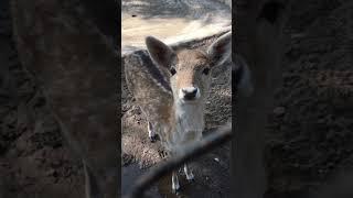 Most beautiful baby deer - cute deer baby