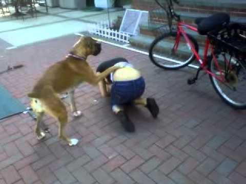 boxer puppy humps innocent girl