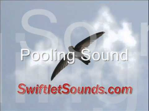 Swiftlet Sound - Pooling Sound video