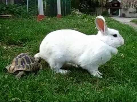 Battaglia tra la Tartaruga ed il Coniglio