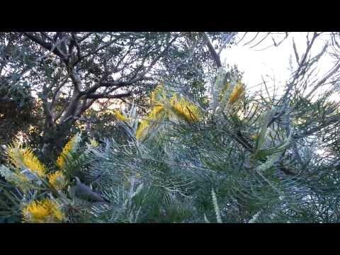 Grevillea Honey Gem tree - Noisy Miner bird - Manorina melanocephala