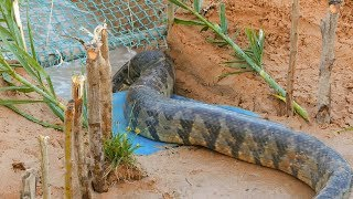 Snake Trap Technology - Awesome Big Snake Trap Using Cage Trap