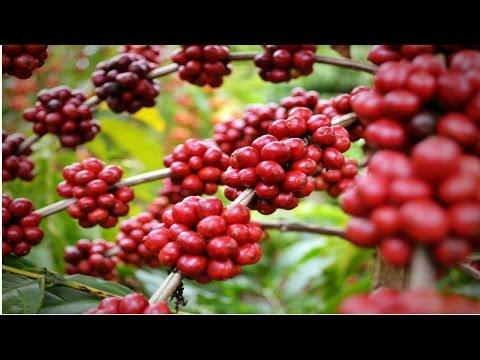 Clique e veja o vídeo Curso Como Produzir Café Conilon
