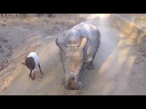 Orphaned Baby Rhino Acts Like A Goat