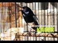 Masteran Burung : Suara Burung Kacer Gacor Juara Nasional HD.mp3