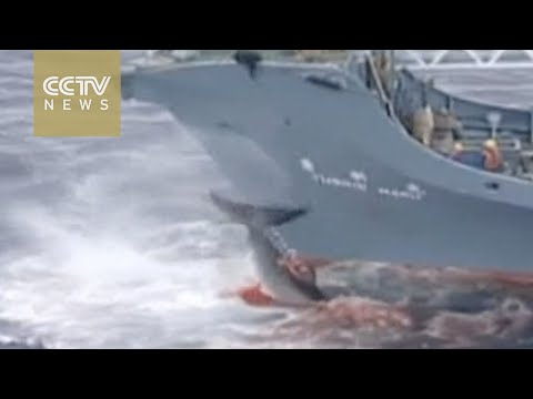 Japan's double standard on attribution: Japan flouted international ruling on whaling ban