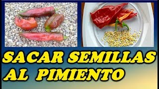 Como Obtener Semillas De Los Pimientos // How to obtain seeds of  peppers