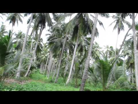 Real Cocoa in a coconut plantation