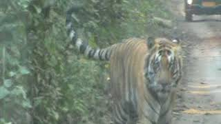 Tiger view at Dudhwa National Park 26012018