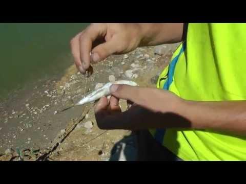 рыбалка на мертвого живца