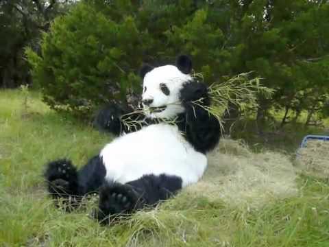 Panda Costume For Sale Panda Costume
