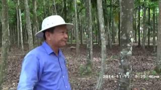 Kebun dan Pohon Gaharu di Pontianak Kalbar