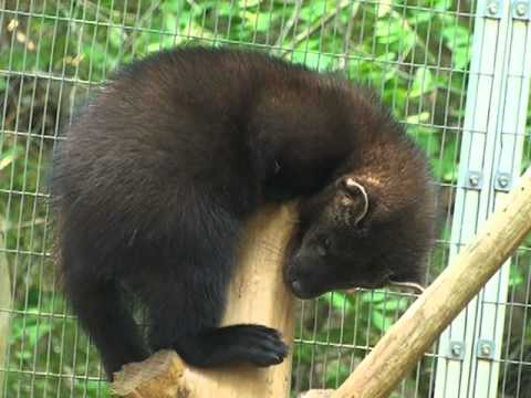 Fishers-The Cape's most elusive animal - YouTube