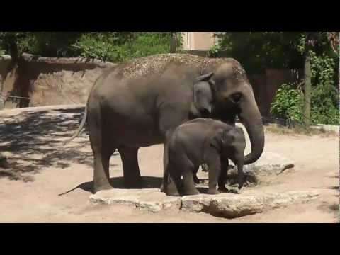 One-year-old Asian elephant with her mother and grandmother at Saint Louis Zoo