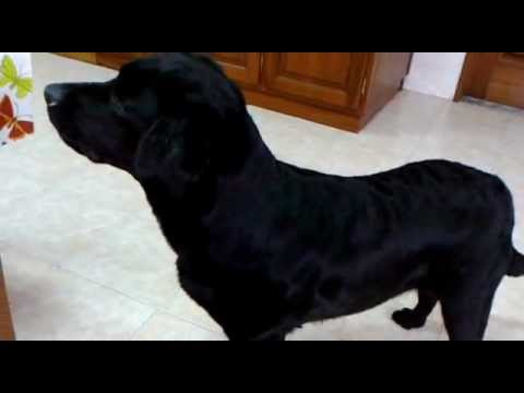 Black Labrador dog watching on youtube barking 2013