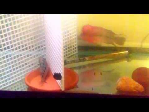 75 Gallon and 55 Gallon Tanks Update W/ 4 Flowerhorn...
